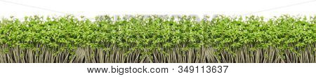 Garden Cress Close-up On White Background Panorama