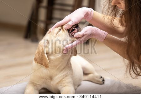 Close Up Shot Of Labrador Canine Having His Teeth Examined By Veterinarian. Professional Vet Checkin