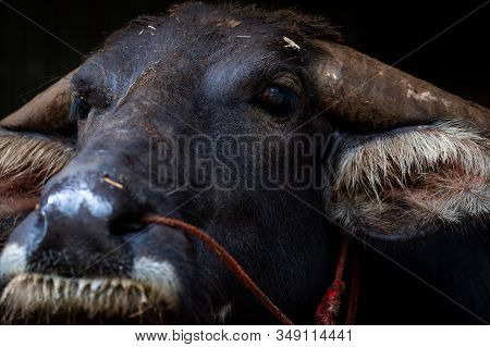 Swamp Buffalo In Thailand Use For Work In Agriculture And Buffalo Meat Industry. Domestic Water Buff