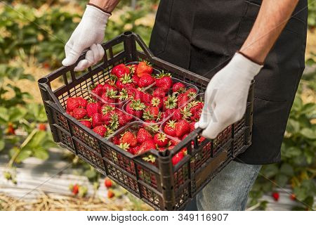 From Above Anonymous Worker In Gloves Carrying Plastic Box While Picking Ripe Strawberries In Greenh