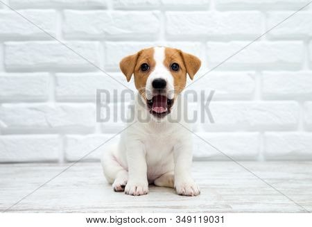 Puppy jack russell terrier. Dog sitting on wooden floor.