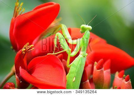 Close Up Detail Of Praying Mantis.  Praying Mantis Image Is Wild With Blur Background. Praying Manti