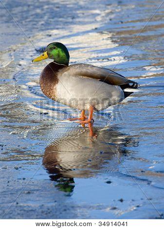 Drake Mallard on thin ice