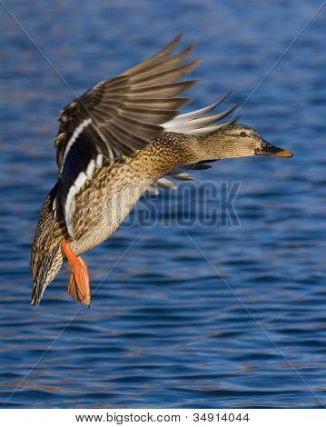 Landing Mallard