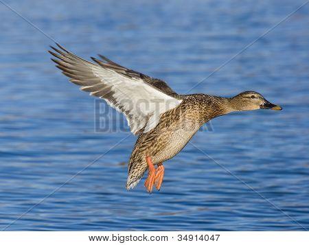 Hen Mallard Landing