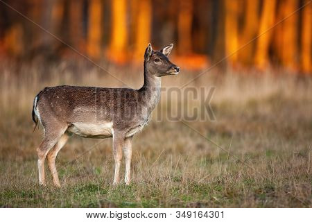Cute Fallow Deer Doe Looking Away On A Meadow With Dry Grass At Sunset
