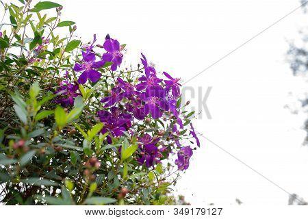 Purple Princess Flower, Glory Flower Or Tibouchina Urvilleana In Full Bloom