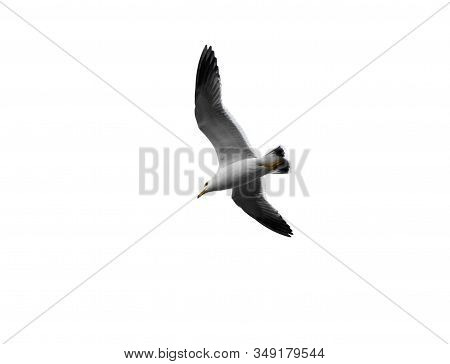 Seagull Bird. Flying Sea Gull Isolated On The White Background. Pacific Seagull.
