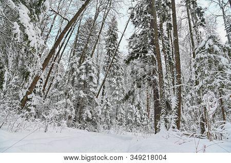 Winter Pine Forest Under Snow, Beutiful Snowy Landscape
