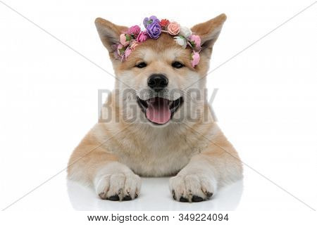 Clumsy Akita Inu panting and looking forward while wearing a headband decorated with colourful flowers, laying down on white studio background