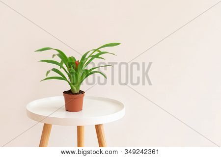 Guzmania Plant With Red Flower In A Pot On White Table On Neutral Beige Background. Image With Copy