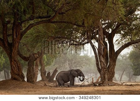 African Bush Elephant - Loxodonta Africana In Mana Pools National Park In Zimbabwe, Standing In The