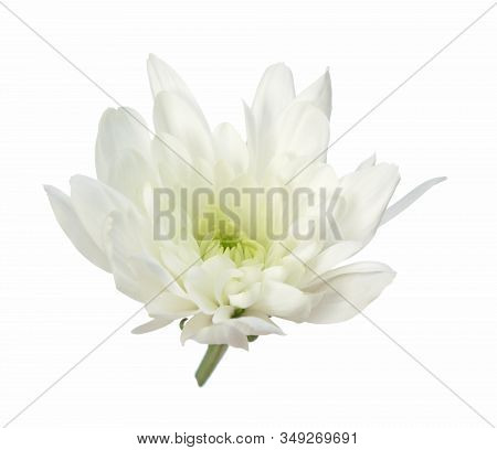A Single White Chrysanthemum Head Isolated On White