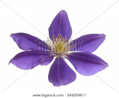 Back View Of Purple Clematis Isolated On White