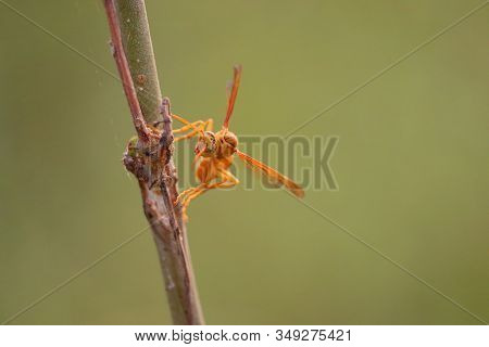 Yellow Wasp And Hornet Are Some Of The Deadliest Insects In South Asia. The Common Close Up Of Wasp,