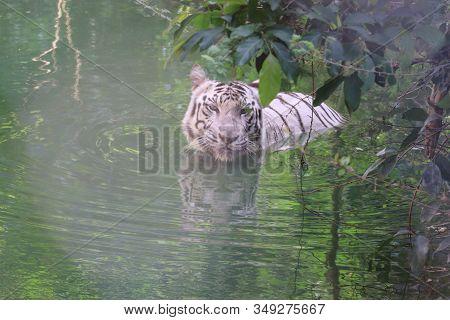 Front View Of Happy White Tiger In Water Pond Under Blur Grass,lets Go Animals Wild For Wildlife. Un