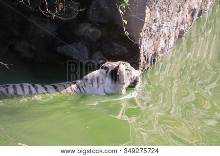 Side View Of Rare Black And White Striped Adult Tiger In Water Pond, Lets Go Animals Wild For Wildli