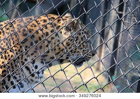 Close Up Leopard In Cage , Side View Of Leopard, Portrait Of Leopard In Cage , Leopard Eyes ,male Le