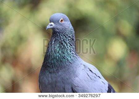 Close-up Of Domestic Or Wild Blue Neck Or Red Eyes Pigeon In The Nature , Outdoors Birds, Pigeon Ima