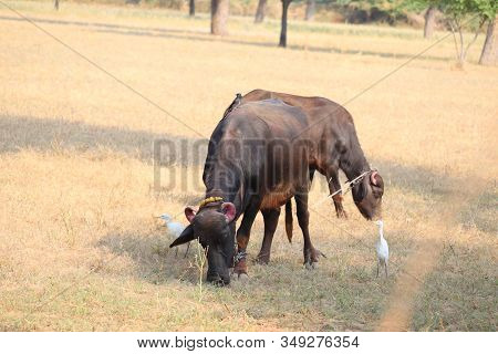 Close-up Of Two Domestic Animals Or Buffaloes With Red Strong Horned In The Wild Field, Outdoors Dom