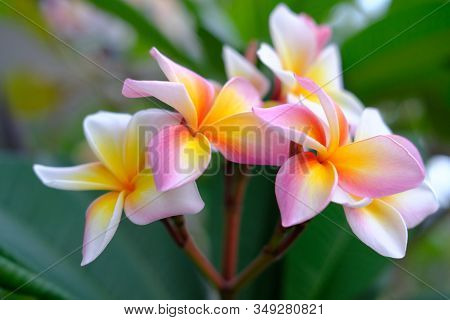 Plumeria Flower Pink And White Tropical Flower, Frangipani Flower Blooming On Tree, Nature Backgroun