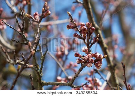 Apricot Tree Flower Buds. Apricot Tree Branches On A Background Of Blue Sky In Spring.