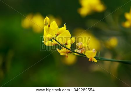 Branch Of Yellow Flowers On A Green Background