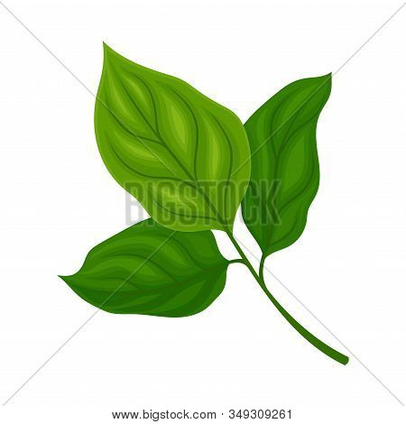 Green Soya Plant Isolated On White Background Agricultural Crop Item