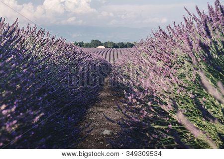 Lavender Fields Near Valensole In Provence, France. Landscape Purple Bushes Of Lavender On A Backgro