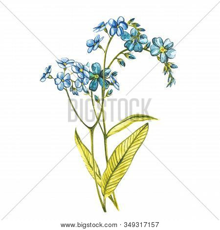 Watercolor Forget-me-not Flowers. Wild Flower Set Isolated On White. Botanical Watercolor Illustrati