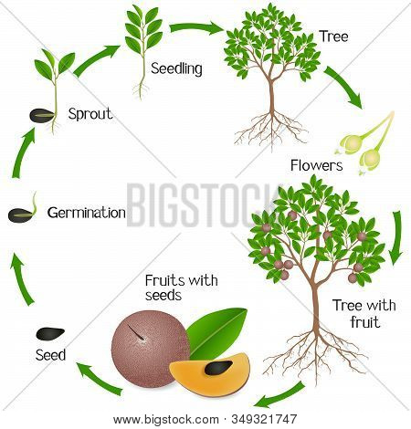 A Growth Cycle Of Sapote Fruit Plant On A White Background.