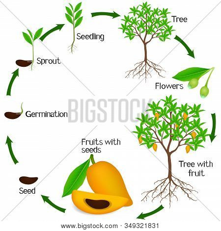A Growth Cycle Of сanistel Or Egg Fruit Plant On A White Background.