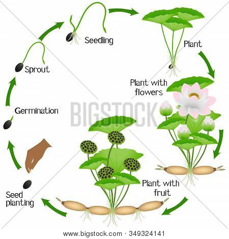A Growth Cycle Of Lotus Plant On A White Background.