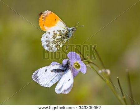 Orange Tip (anthocharis Cardamines) Butterfly Mating On Host Plant Cuckooflower (cardamine Pratensis