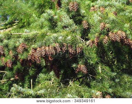 Close Up Of A Douglas Fir Pseudotsuga Menziesii Branch With Cones