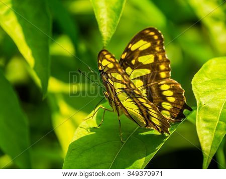 Side View Of A Malachite Butterfly, Colorful Tropical Insect Specie From America