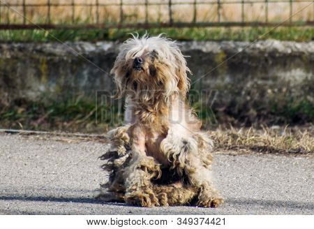 A Sick Dog Abandoned On The Streets. Abandoned Stray Dog Sit On The Road.