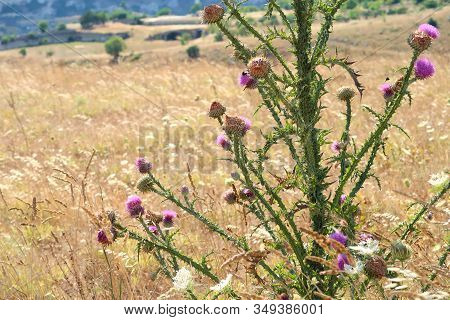 Wild Pink Thorny Thistle At The Dry Field Near The Ancient Town Of Matera (sassi Di Matera), Basilic