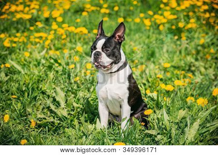 Funny Young Boston Bull Terrier Dog Outdoor In Green Spring Meadow With Yellow Flowers. Playful Pet
