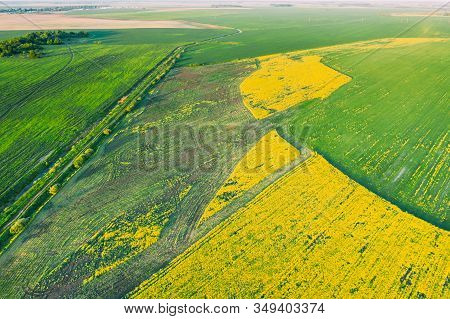 Natural Green Field With Trails Lines In Blooming Canola Yellow Flowers. Top View Of Rape Plant, Rap
