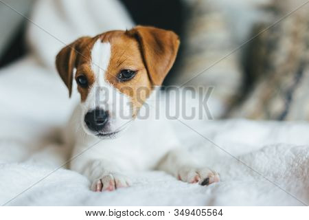 Adorable Puppy Jack Russell Terrier Laying On The White Blanket. Portrait Of A Little Dog