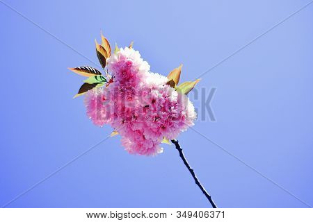 Springtime. Spring Flowers With Blue Background And Clouds. Sacura Cherry-tree. Japanese Cherry Blos