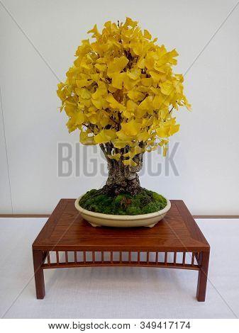 Gingko Biloba Bonsai In Pot On Wooden Table. In The Nishikiten 2019 Exhibition In Granollers.