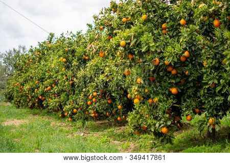 Harvest Time On Orange Tree Orchard In Greece, Ripe Yellow Navel Oranges Citrus Fruits Hanging Op Tr