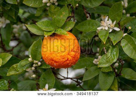 Ingredient For Tea And Aroma Oils, Citrus Fruit Bergamot Hanging On Evergreen Tree