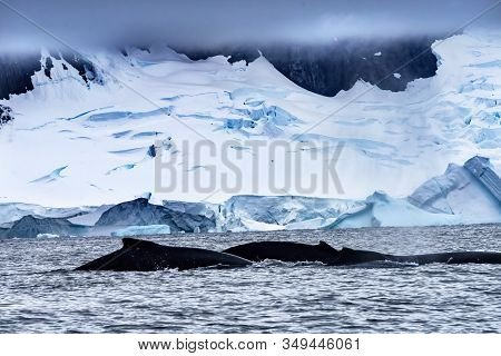 Two Humback Baleen Whales Chasing Krill Blue Iceberg Floating Sea Water Charlotte Bay Antarctic Peni