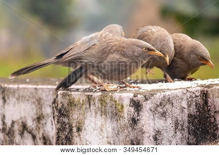 Jungle Babbler Bird Eating Rice Feed On The Wall.