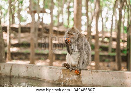 Monkey Sitting On The Edge Of The Pool And Eats Rambutan. Feeding Monkeys In The Monkey Forest Park