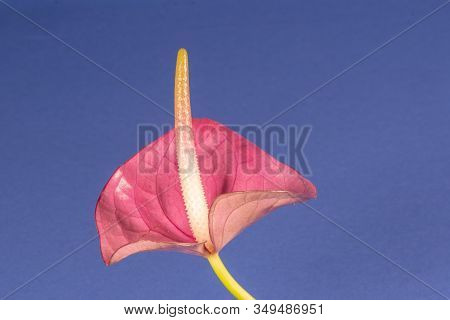 One Purple Spathiphyllum Flower On Blue Background