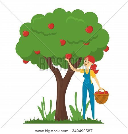 Woman Gather Apples From The Apple Tree Vector Isolated. Harvest Time On Farm. Agriculture And Rural